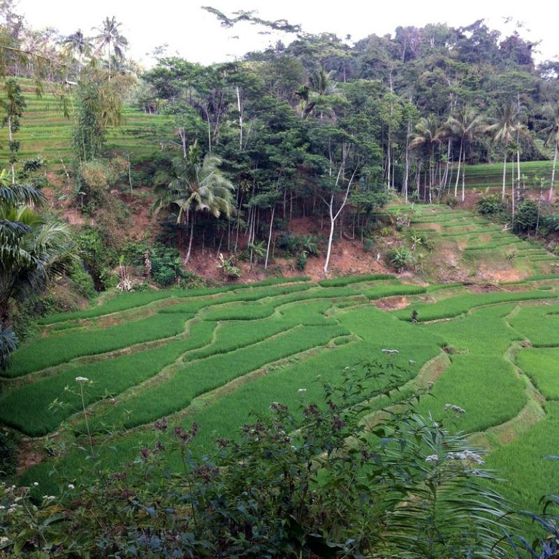 Kampung Naga: The most beautiful and greenest rice plantage of all